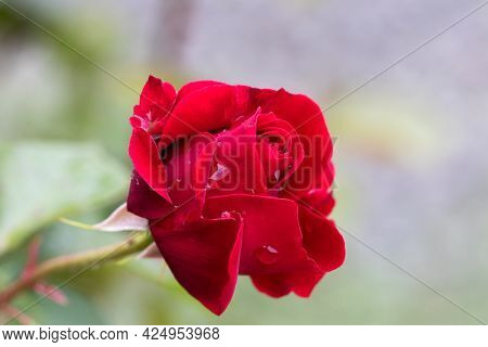 Big Hot Red Roses, Drops Of Rain Water On Rose Petals. Summer, Fragrant, Scarlet Roses On Blurred Ba