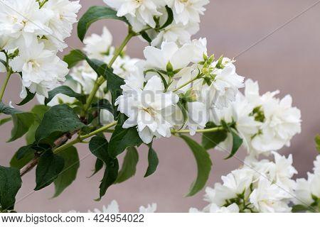 Beautiful White Jasmine Blossom, Selective Focus. Background With Flowering Jasmin Bush. Inspiration