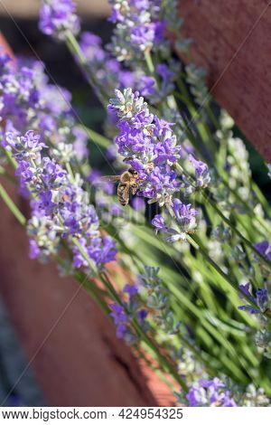 Selective Focus On Spring Insects. A Humblebee Colect Nectar On Blue Flowers Of A Lavender Field. Bu