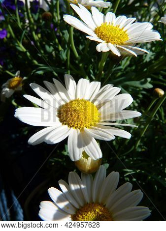 A Close Up From A Oxeye Daisy Flower.