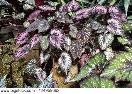 Rex Begonia Leaf With Green And Pink Leaf Pattern. Decoration Of Garden