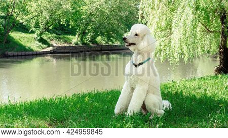 A Large Domestic Dog With A Collar Sits On A Lawn Outdoors. A White King Poodle Sits In Profile Wait
