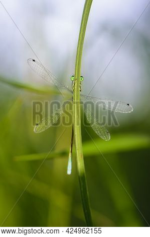 Coenagrion Pulchellum. A Dragonfly Hiding Behind The Grass. Small Blue Dragonfly On A Field Plant. B