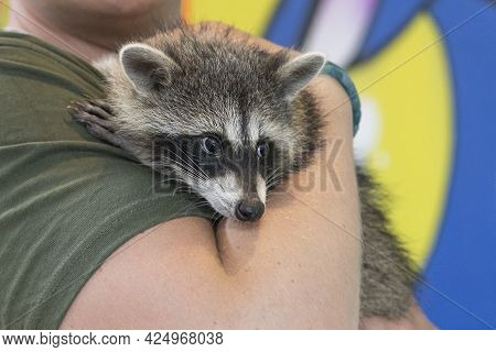 Domestic Raccoon In The Hands Of Unrecognisable Person. Wild Animal