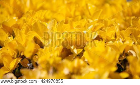 Vibrant Golden Foliage. Natural Yellow Foliage. Fresh Organic Leaves. Bush Texture Leaf Background