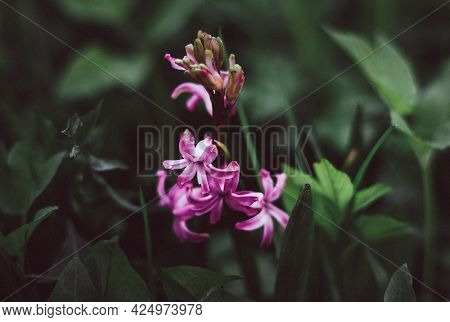 Pink Hyacinth On A Background Of Green Grass. Nature Background. Lilac-pink Hyacinth Flower. Spring