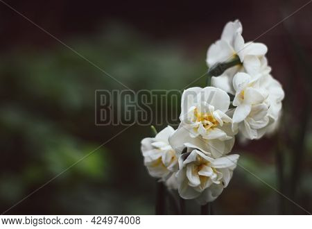 Narcissus Bridal Crown On A Green Blurred Background. White Narcissus Close-up. Natural Background N
