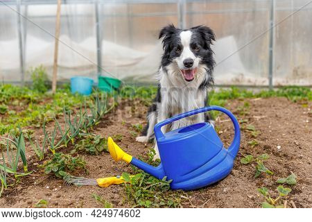 Outdoor Portrait Of Cute Smiling Dog Border Collie With Watering Can On Garden Background. Funny Pup