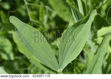 Broad Leaved Everlasting Pea Leaves - Latin Name - Lathyrus Latifolius