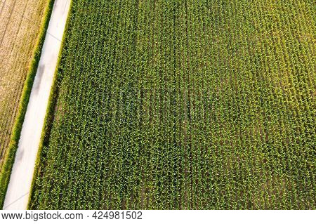Aerial Photo Of Maize Field With Still Young And Small Corn Plants