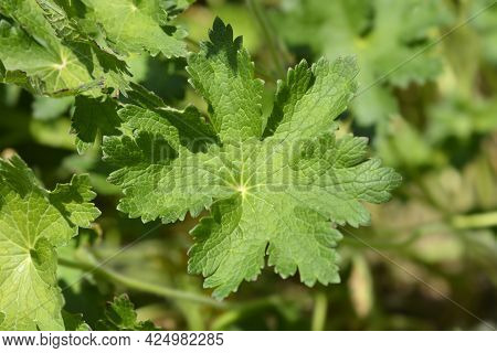 Purple Cranesbill Rosemoor Leaf - Latin Name - Geranium X Magnificum Rosemoor