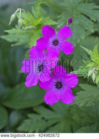 Three Pretty Magenta Cranesbill Geranium Flowers In A Garden