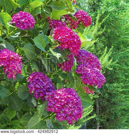 Beautiful Bright Pink Flowers Of Hydrangea ( Hydrangea Macrophylla ) In Garden On Sunny Summer Day