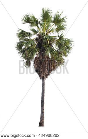 The Freshness Big Toddy Palm Or Sugar Palm Tree Isolated On White Background.