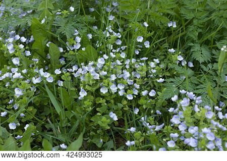 Spring Background Of Delicate Blue Small Flowers Of Veronica Filiformis Among Green Grass, Selective