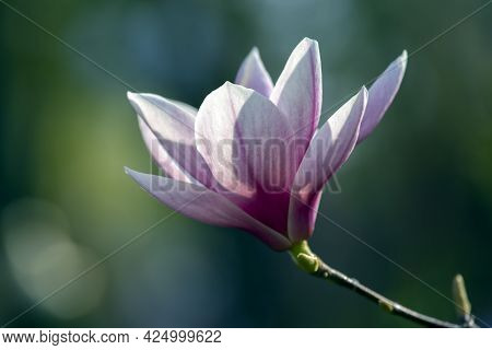 Light Pink Head Of Blooming Spring Magnolia Flower. Botany And Flowers