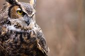 A great horned owl (Bubo virginianus) watches for it's next meal. poster