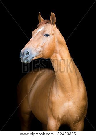 Chestnut horse portrait isolated on black background, Don horse.