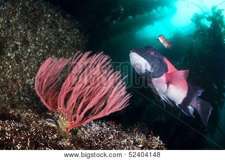 A beautiful California sheepshead fish swimming past a gorgonian sea fan in a deep kelp forest