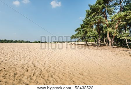 Scots Pine Trees Growing On A Sandy Dune
