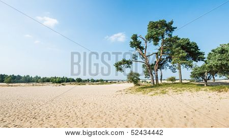 Old Scots Pine Trees Growing On A Sandy Dune