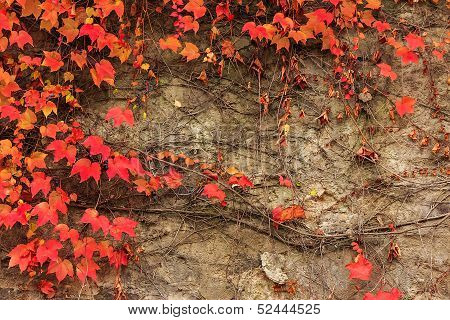 Plant With Red Leaves On A Stone Wall