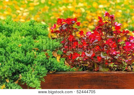 Wet Red Flowers And Conifer In The Box On A  Foliage Background