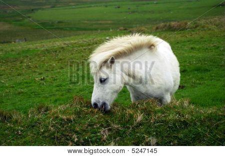 Pony, Shetland, Scotland