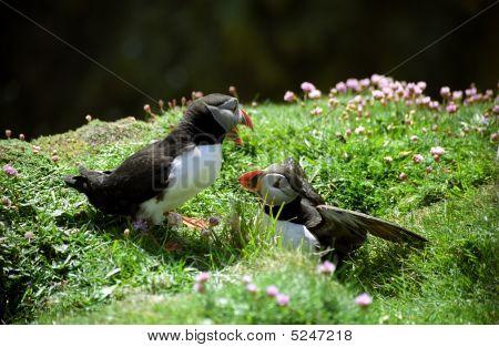 Puffins Chatting, Sumburgh Head, Shetland, Scotland
