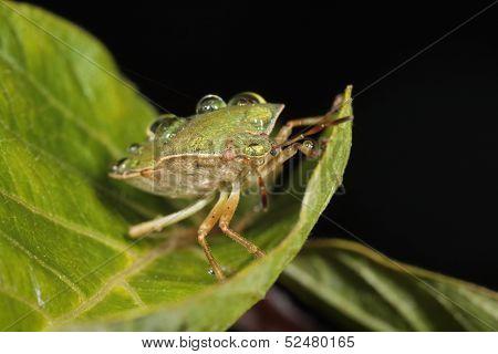 Corn bug (Eurygaster integriceps) on a green leaf
