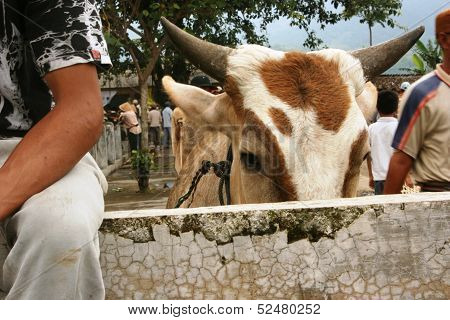 cattle market