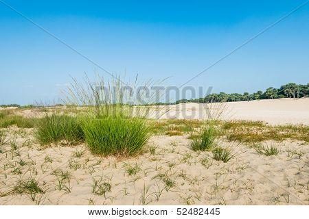 Dune Landscape With Flowering Purple Moor Grass