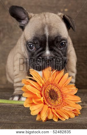 French bulldog puppy and flower