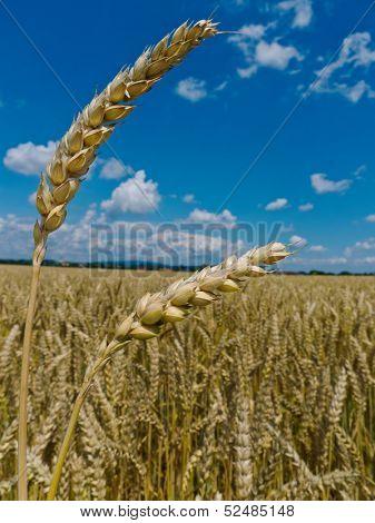 ears of barley in a field of grain a farmer in summer.