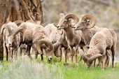 A group of Big Horn Sheep Rams. Yellowstone National Park poster