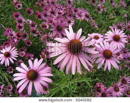 Field of Echinacea flowers.