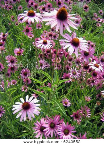 Field of Echinacea flowers