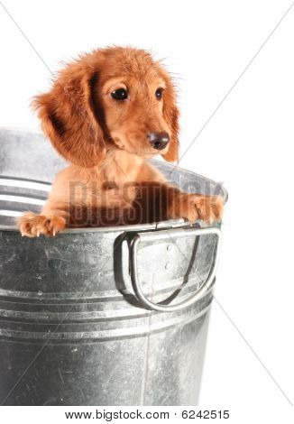 Wet dachshund puppy in a tub, studio isolated. poster