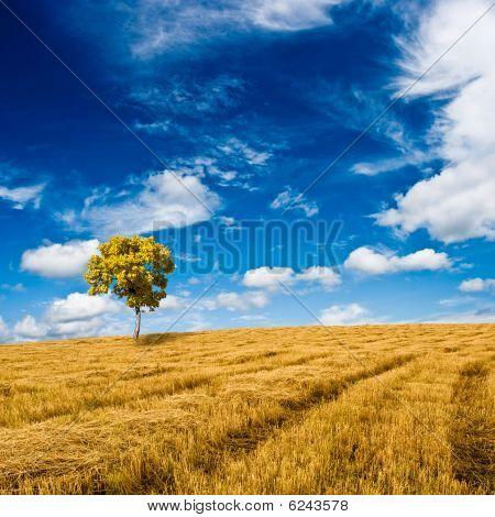 Golden Oak Standing On The Field