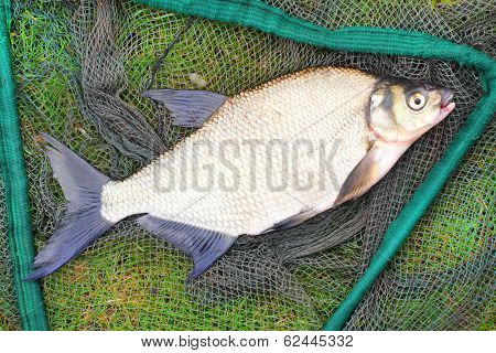 The Common Bream (Abramis brama) on a fishing net.
