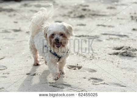 Maltese Poodle On The Beach