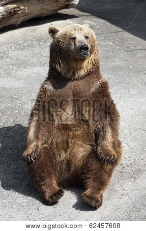 Brown Bear (ursus Arctos Arctos) Sitting On The Ground