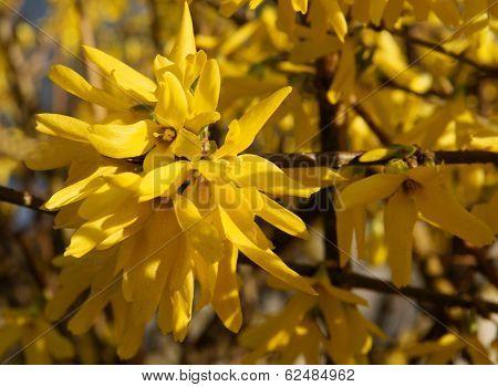 forsythia bush blossoming at spring