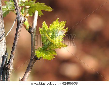 Springin The Vineyard