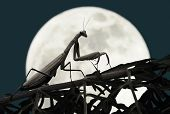 Praying mantis at night with full moon in background poster