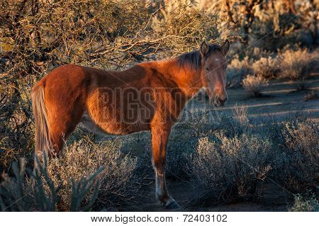 Wild Horse In The Arizona Desert
