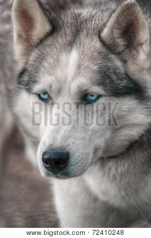 Closeup of a husky dog in HDR. poster