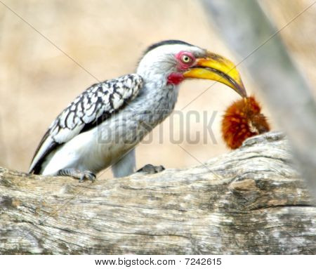 Yellow billed horn bill nibbling on red worm poster