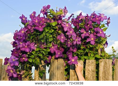 Purple Flower Behind A Fence
