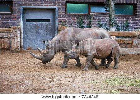 Rhinoceros Mother and Child